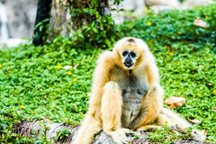 Gibbon in chiangmai Zoo chiangmai Thailand Stockfotos