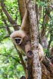 Gibbon in Chiangmai Zoo , Thailand Stock Photo