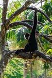 Gibbon climbing on the tree stock photos