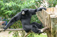 Gibbon climbing on tree branch Stock Photography