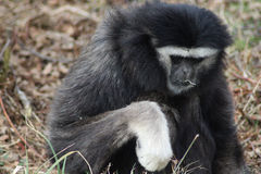Gibbon close Stock Image