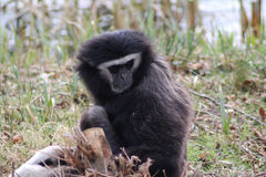 Gibbon close Royalty Free Stock Photos