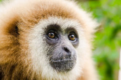 Gibbon. Close up of a white hand gibbon stock images