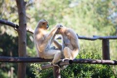 Gibbon couple Stock Images