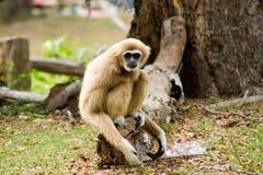 Gibbon Royalty Free Stock Images