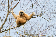 Gibbon dado blanco Fotos de archivo