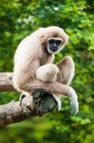 Gibbon dans le zoo Image libre de droits