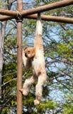 Gibbon de balanceo Fotografía de archivo libre de regalías