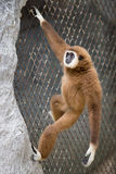Gibbon de Brown Photographie stock