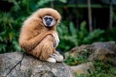 Gibbon de Brown se reposant sur la roche Photo libre de droits