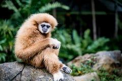 Gibbon de Brown se reposant sur la roche Photos libres de droits