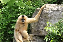 Gibbon de cuir épais-cheeked traînant littéralement ! Photographie stock libre de droits