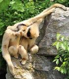 Gibbon de cuir épais-cheeked traînant littéralement ! Image libre de droits