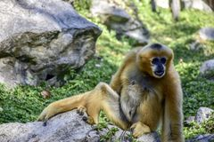 Gibbon in de Dierentuin bij het Noorden van Thailand royalty-vrije stock afbeeldingen