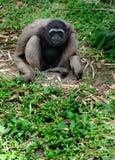 Gibbon de la moleta Fotografía de archivo libre de regalías
