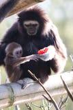 Gibbon de Lar Photos libres de droits