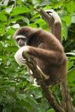 Gibbon de Lar Images libres de droits