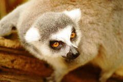 Gibbon de Lar, Photographie stock