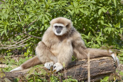 Gibbon de Lar Photo libre de droits