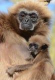 Gibbon de Lar avec la chéri Photographie stock libre de droits
