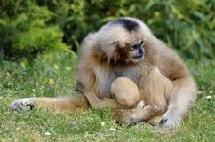 Gibbon de Lar avec ses jeunes sur l'herbe Photographie stock