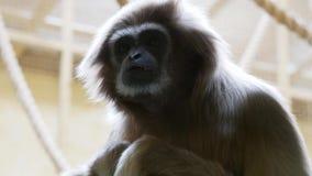 Gibbon de Lar avec un regard futé banque de vidéos