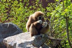 Gibbon de Lar, lar de Hylobates photos stock