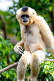 Gibbon de las mejillas de oro, gabriellae de Nomascus Foto de archivo