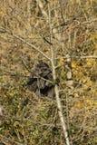 Gibbon de moloch de Hylobates Photo libre de droits