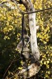 Gibbon de moloch de Hylobates Images libres de droits