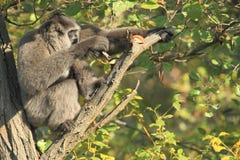 Gibbon de Moloch se reposant sur l'arbre Photographie stock libre de droits
