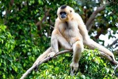 Gibbon de mordentes dourados, gabriellae de Nomascus Imagem de Stock Royalty Free