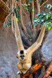 Gibbon de mordentes dourados, gabriellae de Nomascus Fotos de Stock Royalty Free