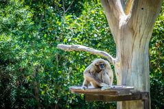Gibbon de repos Image libre de droits