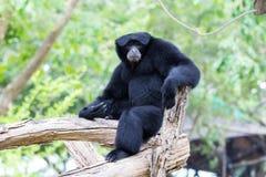 Gibbon de Siamang Fotos de Stock Royalty Free