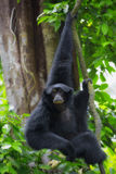 Gibbon de Siamang Photographie stock