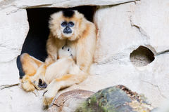 Gibbon del Brown Fotografie Stock