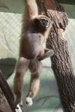 Gibbon del lar Imagenes de archivo