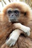 Gibbon del Lar Fotografia Stock Libera da Diritti