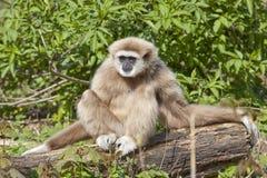 Gibbon del lar Foto de archivo libre de regalías