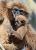 Gibbon del Lar con il bambino Immagini Stock Libere da Diritti