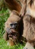 Gibbon del lar del bebé Fotos de archivo libres de regalías