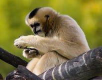 Gibbon at Denver zoo. Cream monkey at Denver zoo, USA royalty free stock image