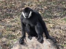 Gibbon, der auf dem Felsen sitzt Lizenzfreie Stockfotos