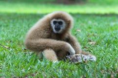 Gibbon, der auf dem Gras im Wald sitzt Stockbilder