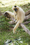 Gibbon, der auf dem Holz sitzt Stockfotografie