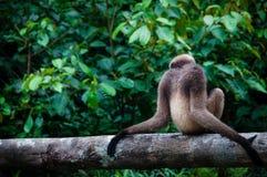 Gibbon, der auf einem Baum sitzt Stockfotografie