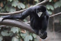 Gibbon, der auf einem Baumast sitzt Lizenzfreies Stockbild