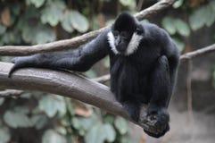 Gibbon, der auf einem Baumast sitzt Stockbild