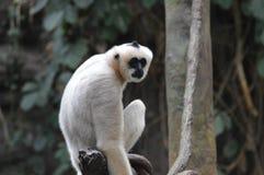 Gibbon, der auf einem Baumast sitzt Lizenzfreie Stockbilder